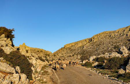 Stáda ovcí blokujících silnici